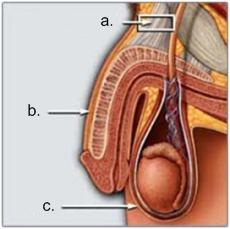 kirurgi for at gøre din penis større